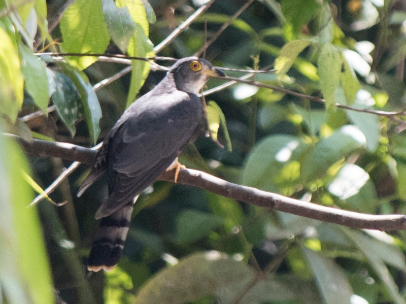 Hodgson's Hawk Cuckoo