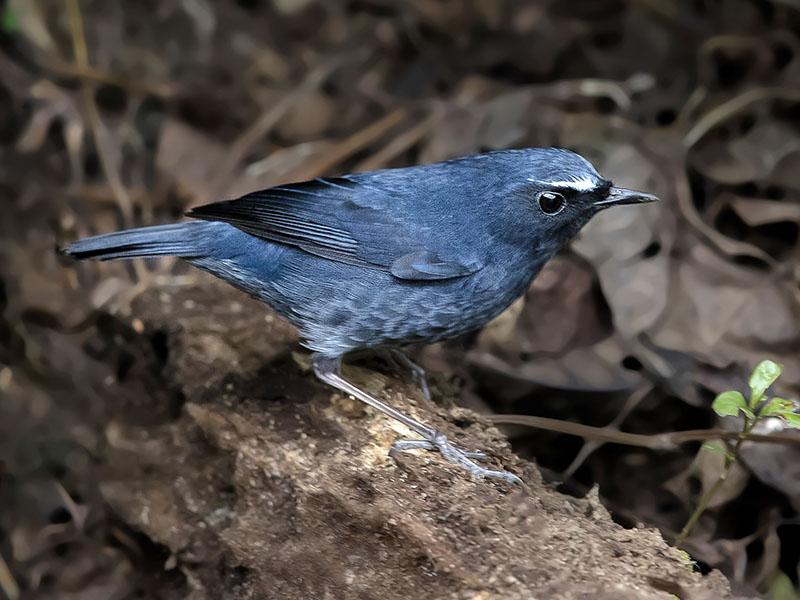 Himalayan Shortwing