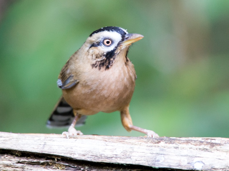 Moustached Laughingthrush