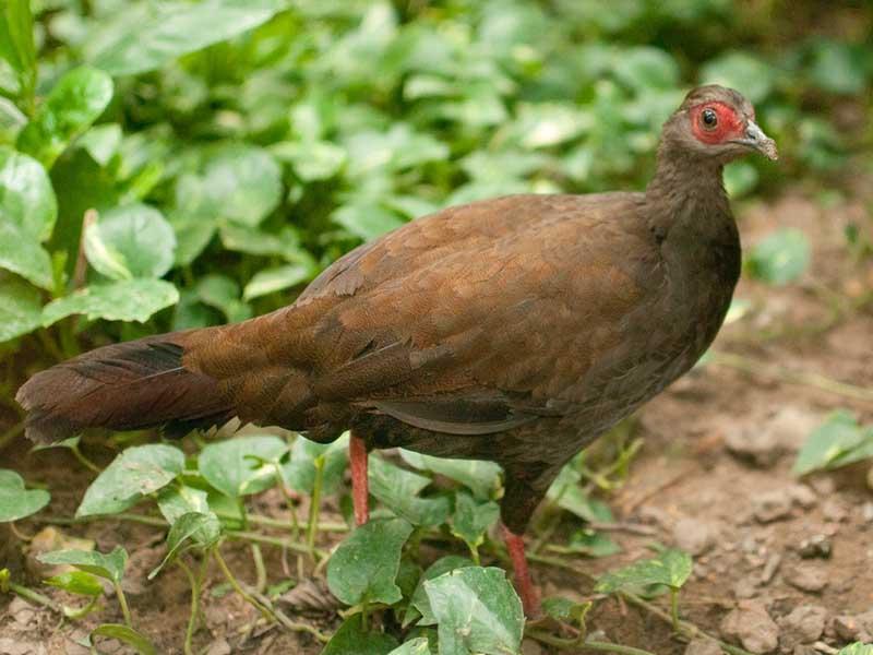 Edwards's Pheasant
