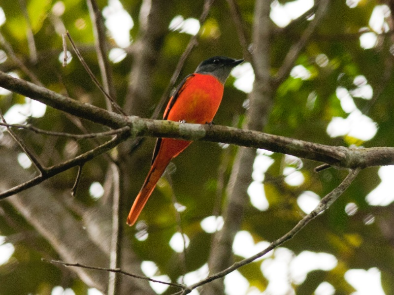 Grey-chinned Minivet