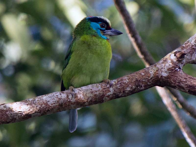 Indochinese Barbet
