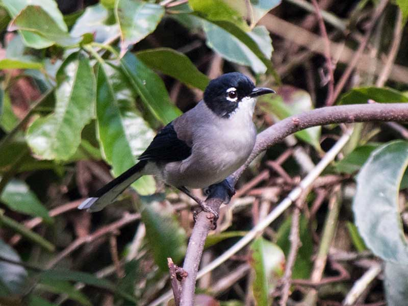 Black-headed Sibia