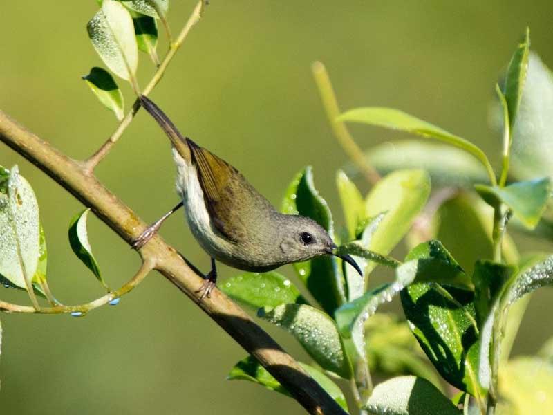Black-throated Sunbird
