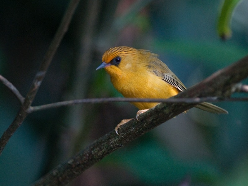 Golden Babbler