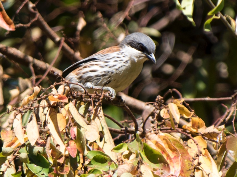 Gray-crowned Crocias