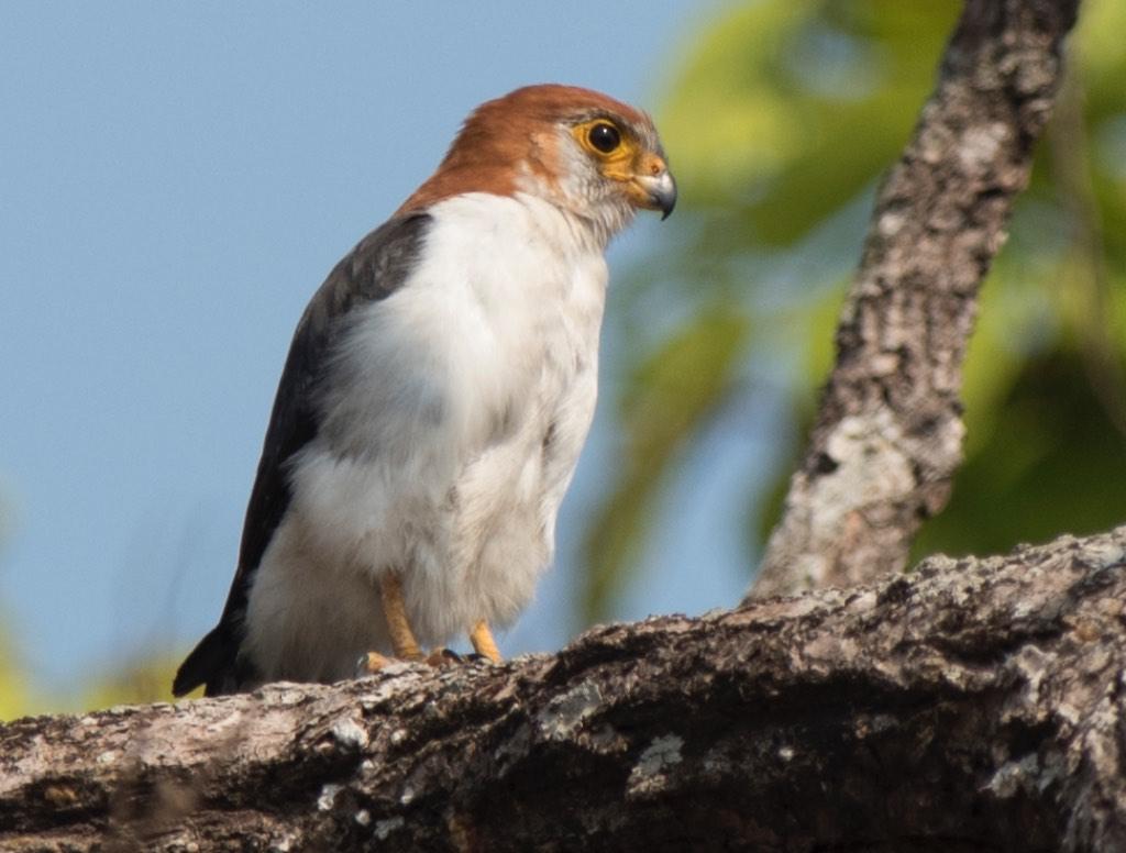 White-rumped Falcon