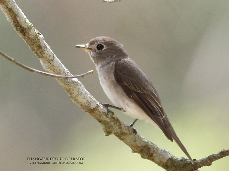 Asian Brown Flycatcher