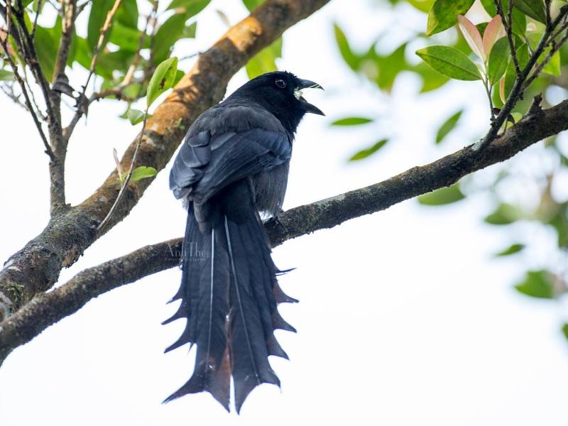 Ratchet-tailed Treepie