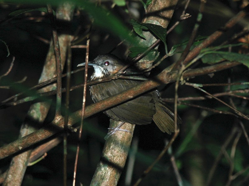 Indochinese Wren Babbler