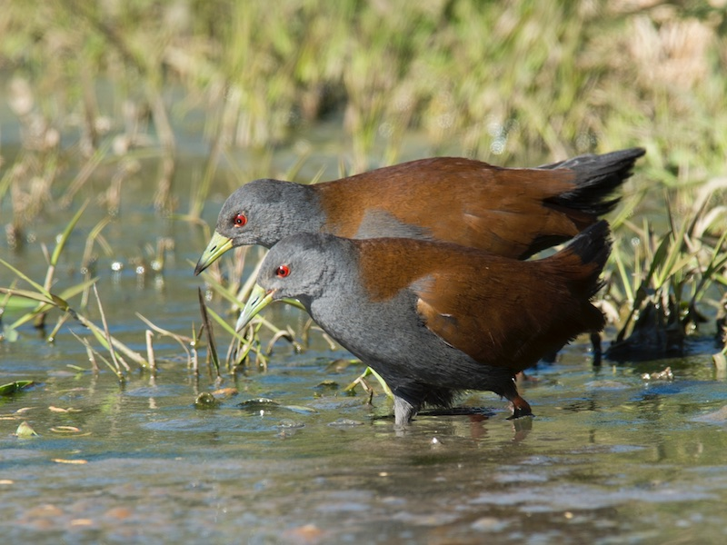 Black-tailed Crake
