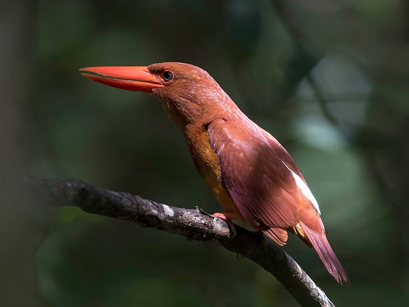 Ruddy Kingfisher