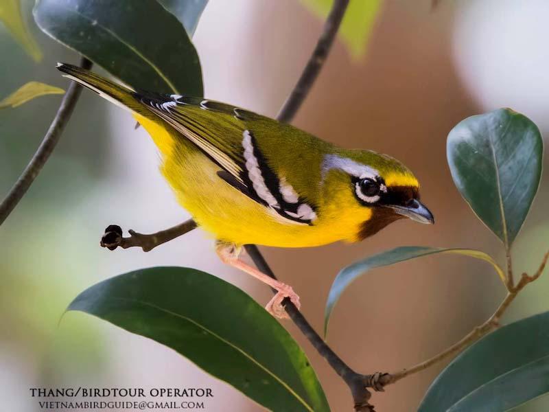 Chestnut-fronted Shrike Babbler