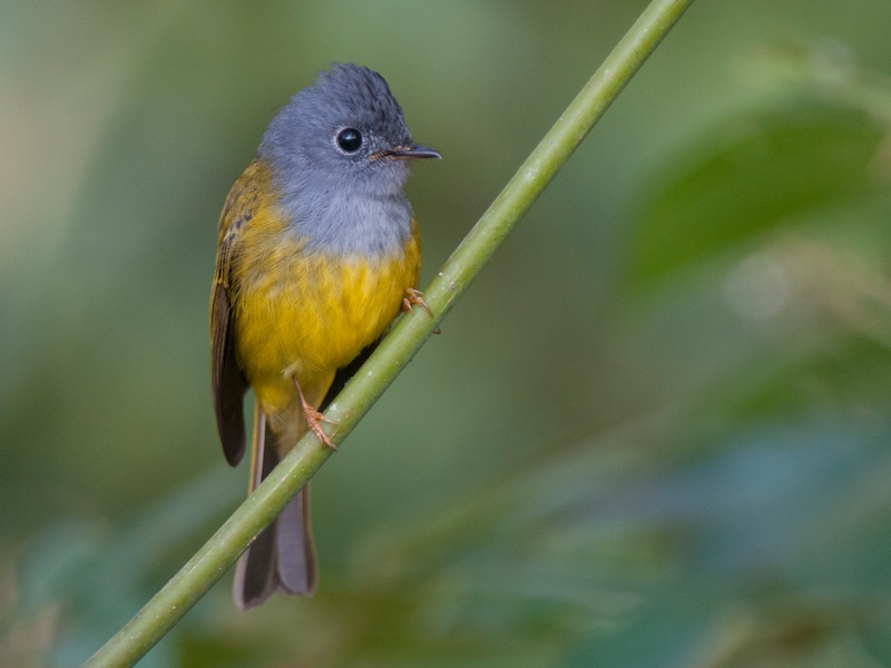 Gray-headed Canary-Flycatcher