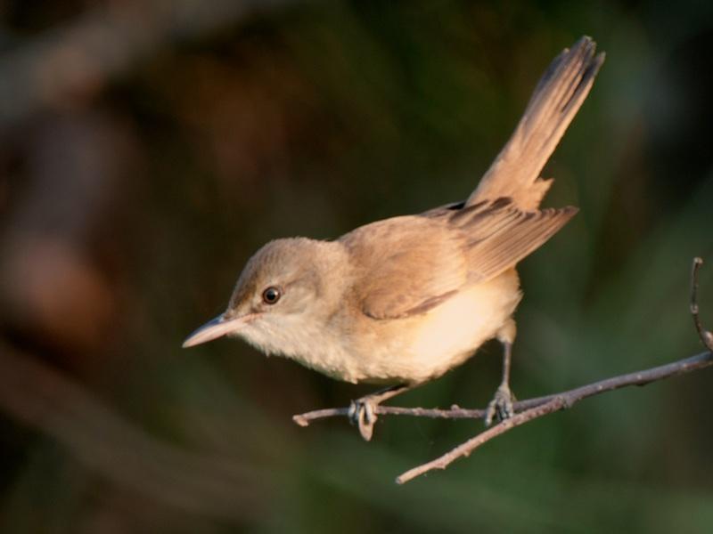 Thick-billed Warbler