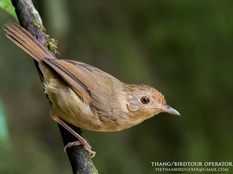Buff-breasted Babbler