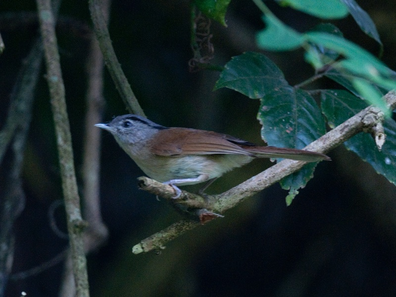 Black-browed Fulvetta