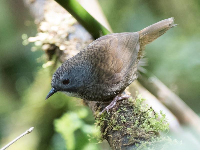 Pale-throated Wren Babbler