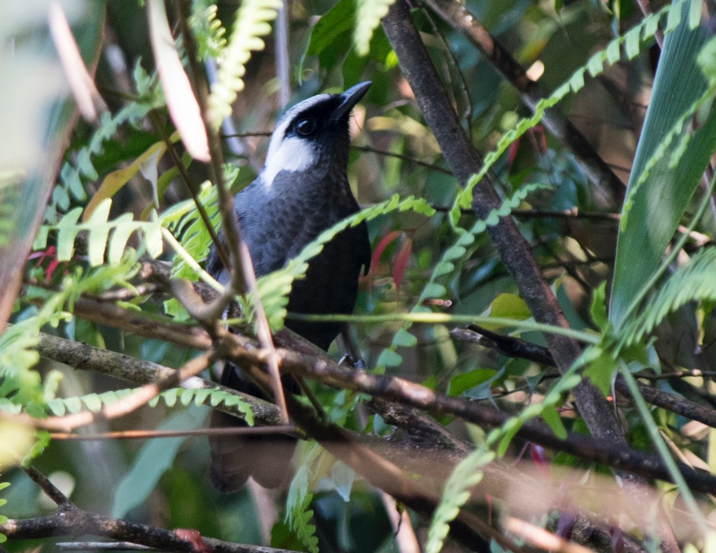 Gray Laughingthrush
