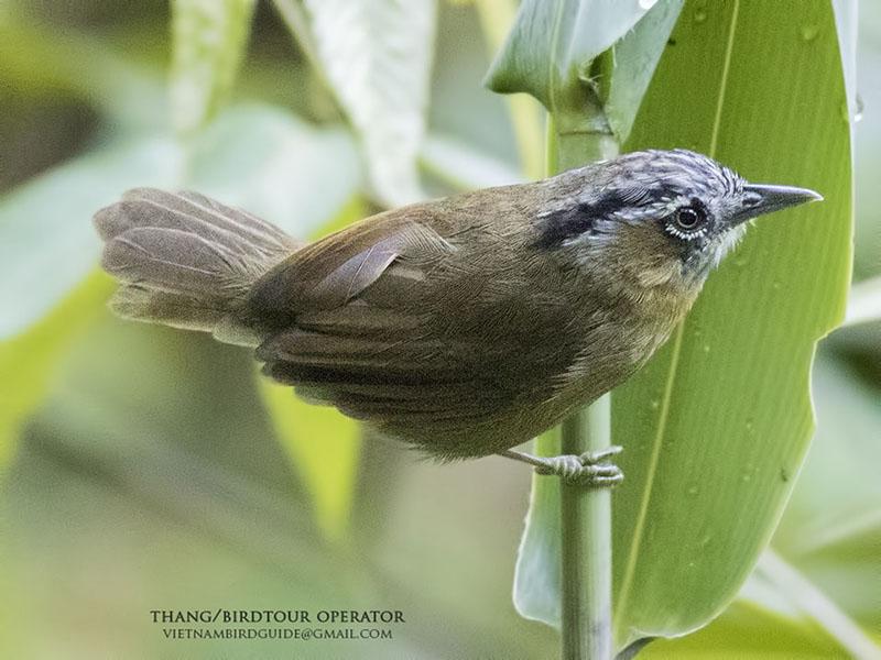 Gray-throated Babbler