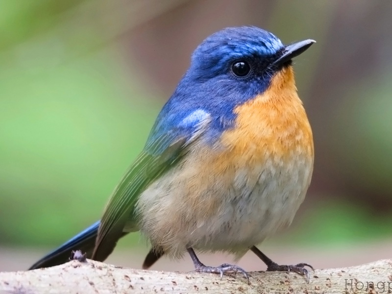 Hill Blue Flycatcher