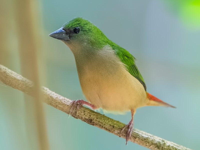 Pin-tailed Parrotfinch