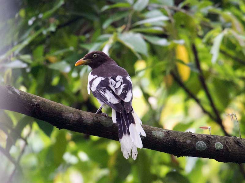 White-winged Magpie