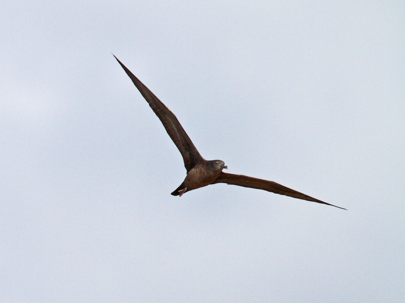 Wedge-tailed Shearwater