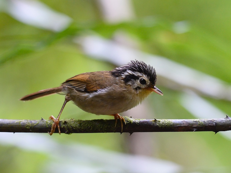 Black-crowned Fulvetta