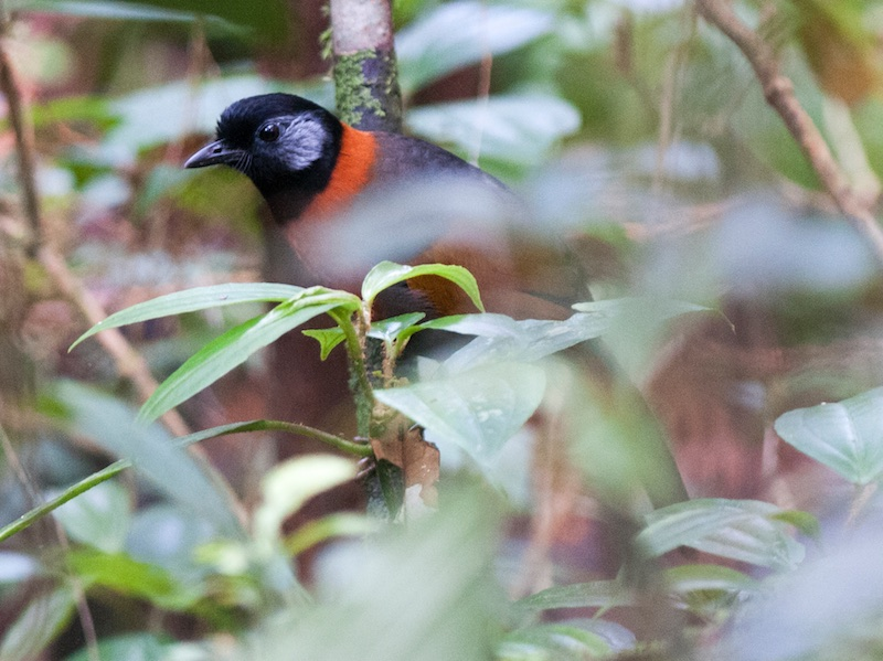 Collared Laughingthrush