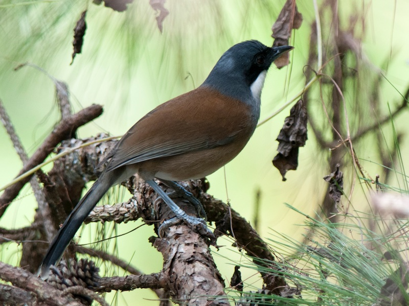 White-cheeked Laughingthrush