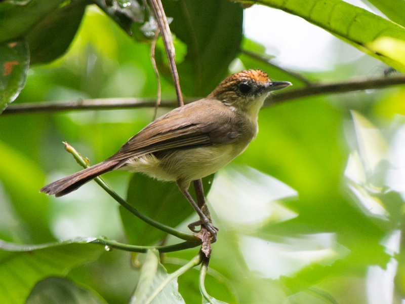 Scaly-crowned Babbler