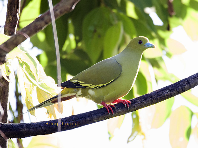 Pin-tailed Pigeon