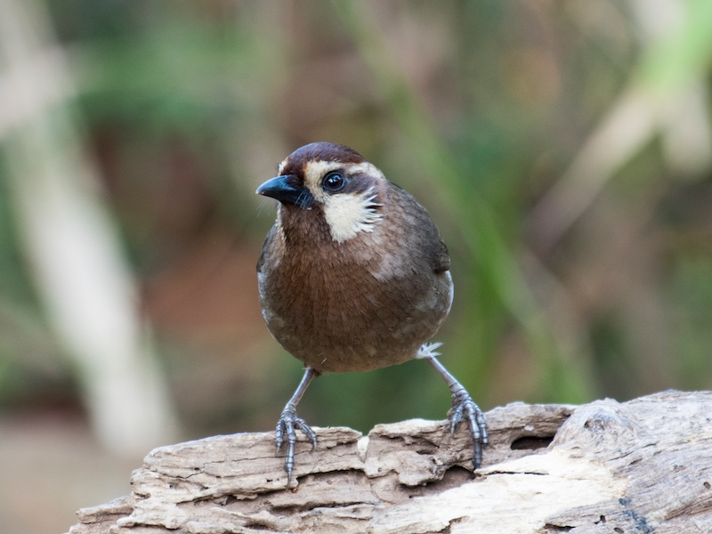 White-browed Laughingthrush