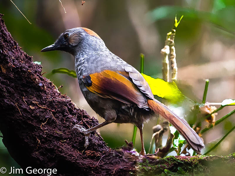 Golden-winged Laughingthrush